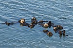 Sea Otter (Enhydra lutris) males in raft, Elkhorn Slough, Monterey Bay, California