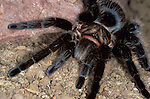 Tarantula, Curly Hair, Brachypelma Albopilosa, by rock. ....