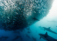 long-beaked common dolphins, Delphinus capensis, and spinner shark, Carcharhinus brevipinna, collaboratively attacking and feeding on sardine baitball of South American pilchards, Sardinops sagax, during annual sardine run, Wild Coast, South Africa, Indian Ocean