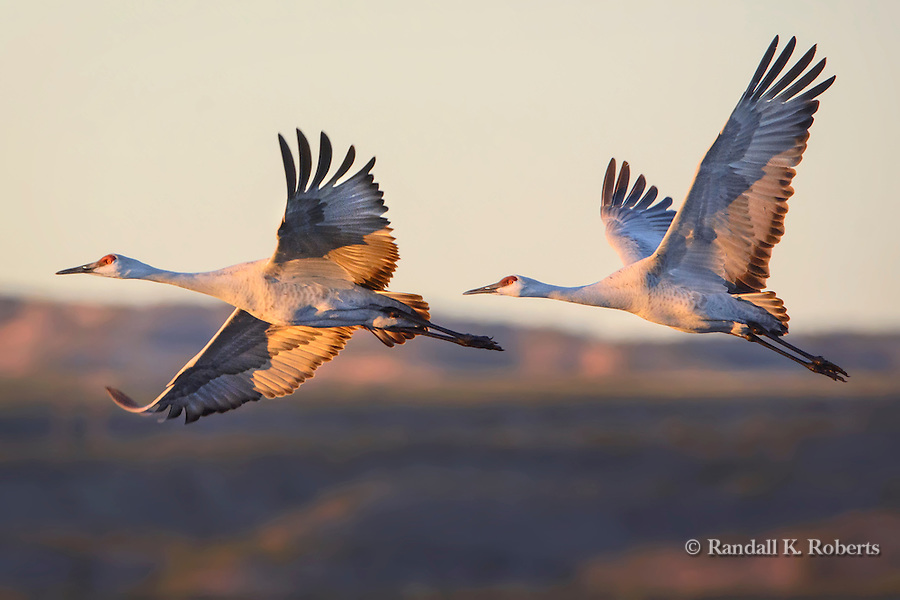 Sandhill Crane takes off in the morning light from a pond at Bosque del Apache National Wildlife Refuge, New Mexico