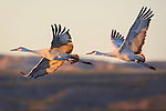 Nov 2016 Bosque del Apache