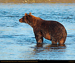 Alaskan Coastal Brown Bear, Male at Sunset, Silver Salmon Creek, Lake Clark National Park, Alaska