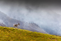 Caribou cow walks on ridge of tundra with clouds and mountains in background in Denali National Park, Alaska  Summer<br /> <br /> Photo by Jeff Schultz/SchultzPhoto.com  (C) 2018  ALL RIGHTS RESERVED<br /> <br /> Amazing Views-- Into the wild photo tour 2018