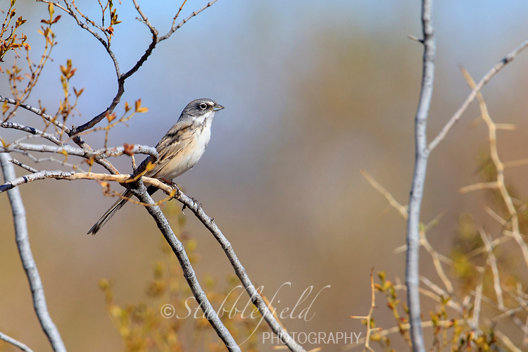 Sagebrush Sparrow (Artemisiospiza nevadensis) near Tonopah, Arizona.