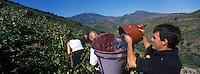 Europe/France/Languedoc-Roussillon/66/Pyrénées -Orientales/Banyuls-s-Mer: Vendanges dans le vignoble de Banyuls