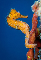 longsnout seahorse, Hippocampus reidi, Fredricksted Pier, St. Croix, US Virgin Islands, Caribbean Sea, Atlantic Ocean
