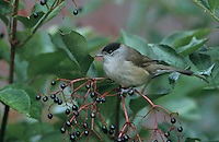 Blackcap, Sylvia atricapilla, male on Common Elderberry (Sambucus nigra), Oberaegeri, Switzerland, Europe