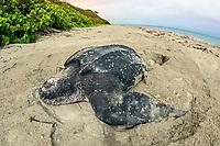 leatherback sea turtle, Dermochelys coriacea, female, nesting and laying eggs, at sunrise, Juno Beach, Florida, USA, Atlantic Ocean