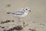 Piping Plover (Charadrius melodus), female near nest,<br /> Martha's Vineyard, Massachusetts, USA. Endangered species in USA. <br /> Slide B52-318