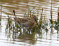 Adult Wilson's snipe feeding in fresh water pool