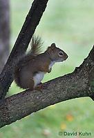 0815-1002  Red Squirrel, Tamiasciurus hudsonicus  © David Kuhn/Dwight Kuhn Photography