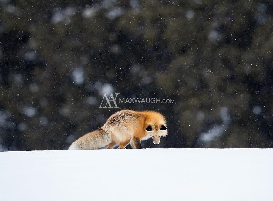 A fox listens for prey beneath the snow.