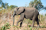 Elephant Strolling in Chobe National Park in Botswana