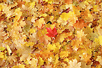 Freshly fallen maple tree leaves