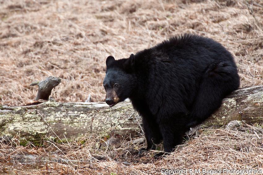 Black Bear Sitting on a Log