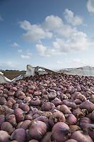 Gladioli bulbs iPicture Tim Scrivener 07850 303986