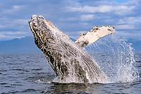 humpback whale, Megaptera novaeangliae, first year calf breaching, Chichagof Island, Chatham Strait, Southeast Alaska, Pacific Ocean