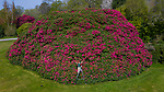 UK's biggest Rhododendron