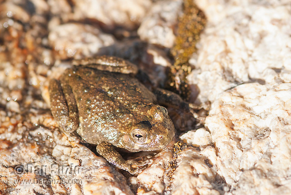 Canyon treefrog, Hyla arenicolor, sits beside an intermittent stream in Bear Canyon, Coronado National Forest, Arizona