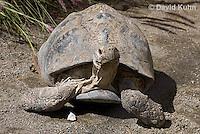 0417-1004  Leopard Tortoise, Geochelone pardalis  © David Kuhn/Dwight Kuhn Photography.