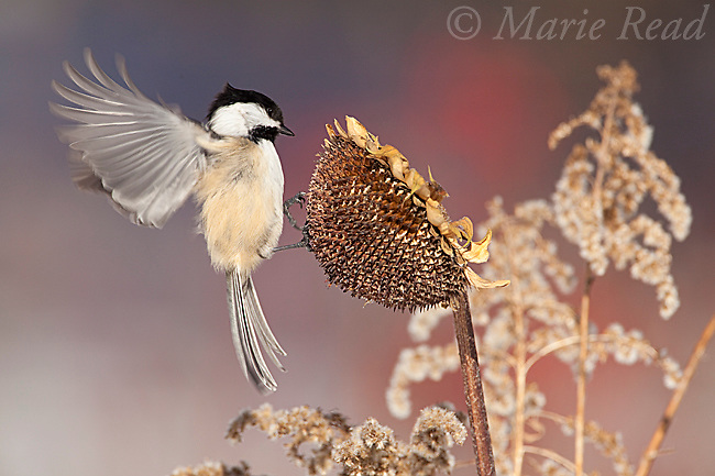 Black-capped Chickadee (Poecile atricapilla) landing to feed from sunflower seedhead in winter, New York, USA