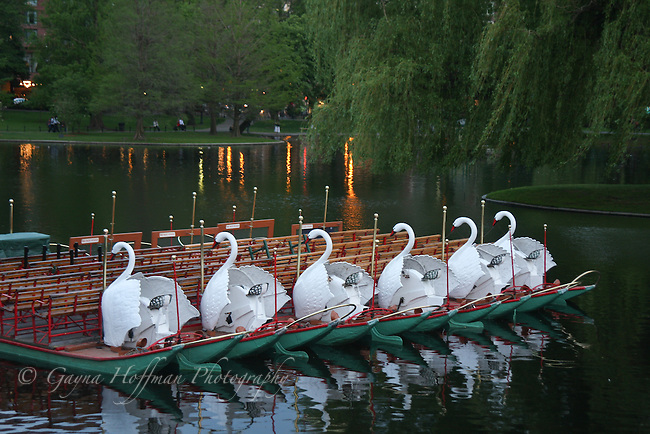Swan boast in the evening. Boston Public Garden. MA