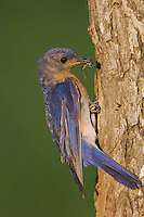 Eastern Bluebird, Sialia sialis, male at nesting cavity, Willacy County, Rio Grande Valley, Texas, USA