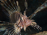 Kenting, Taiwan -- Common lionfish, Pterois volitans, hunting under a rock ledge.<br />