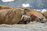 Atlantic walrus, Odobenus rosmarus rosmarus, colony, Magdalenen Fjord, Svalbard, Arctic, Norway, Europe