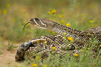 467010161 a wild western diamondback rattlesnake crotalus atrox lays coiled in a defensive threat posture in a small field of flowers on santa clara ranch starr county texas