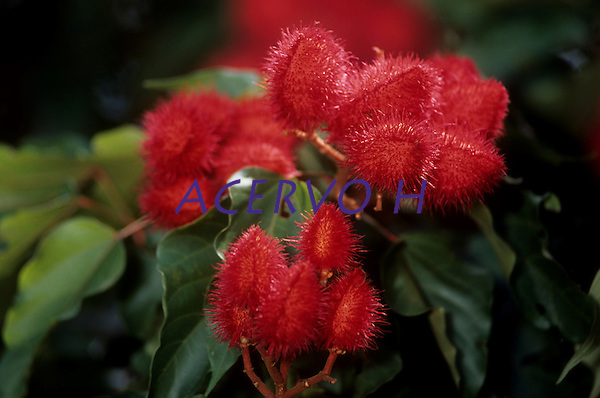 Nomes populares : Urucum, Urucu, A&ccedil;afroa, A&ccedil;afroeira da terra.. Fam&iacute;lia: Bixacea. Planta Pioneira de pequeno porte, adulto de at&eacute; 5 m de altura. Esta &aacute;rvore &eacute; cultivada em muitas regi&otilde;es do pa&iacute;s, e sua semente &eacute; usada para condimento e colora&ccedil;&atilde;o de alimentos, colora&ccedil;&atilde;o esta proveniente da orelina (amarelo) e a bixina (vermelho), um dos poucos corantes vermelhos permitido para uso em alimentos. &Eacute; tamb&eacute;m usado por &iacute;ndios para pintura de pele e repelente de insetos e para rituais religiosos. R&aacute;pida em seu crescimento, pode ser usada em reflorestamentos e como ornamental.<br /> <br /> Tef&eacute;, Amazonas, Brasil.<br /> <br /> Foto Paulo Santos