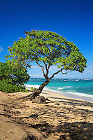 Tree on the Beach in Oahu Hawaii