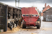 Feed dairy young stock with a diet feeder wagon<br /> &copy;Tim Scrivener Photographer 07850 303986<br />      ....Covering Agriculture In The UK....