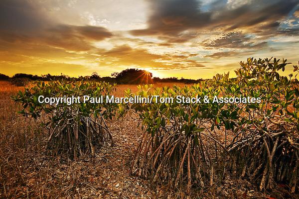 Red Mangroves, Everglades National Park, Florida