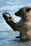 Second year brown bear cub playing with a rock in the Brooks River, Katmai National Park, Alaska, USA
