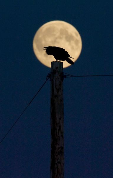 The full moon rises behind a raven calling out from atop a utility pole in Kenai, Alaska.