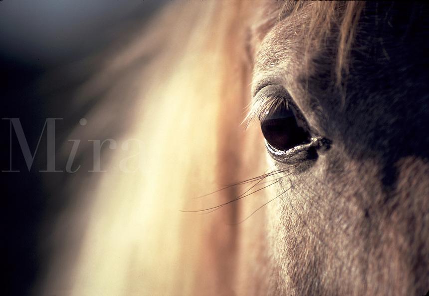 Close up of beautiful horse eye with blond mane filling frame behind. horses, equine, animals, eyes. #432 Eye CU.