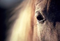 Close up of beautiful horse eye with blond mane filling frame behind. horses, equine, animals, eyes. #432 Eye CU.