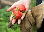 Woman holding freshly picked strawberry fruit in her hand, UK