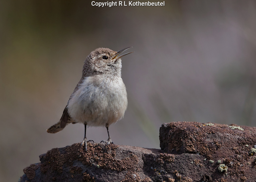 Male rock wren singing from atop a rocky cliff proclaiming his territory.<br /> Columbia National Wildlife Refuge, Washington State<br /> 4/12/2011