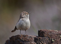 Male rock wren singing from atop a rocky cliff proclaiming his territory.<br />