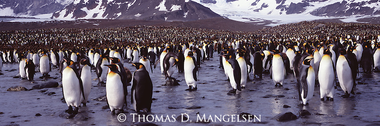 A large king penguin colony at St. Andrews Bay in South Georgia.