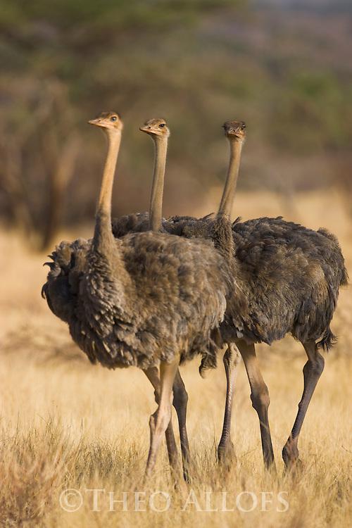 Young somali ostriches (Struthio camelus molybdophanes) walking in grassland, Samburu National Park, Kenya