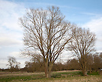 Willow trees in winter growing in wetland meadow, Shottisham, Suffolk, England