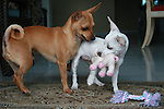 Chihuahua Gozo 1-19-2006 8lbs<br /> Minnetonka