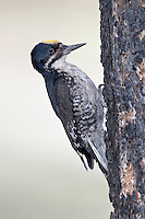 Black-backed Woodpecker - Picoides arcticus - Adult male
