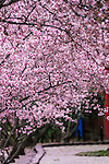 The centrepiece of this festival is Auburn Botanic Gardens' Japanese Sakura (Cherry Blossoms), which bloom for a brief two week period each year. Sydney NSW Australia