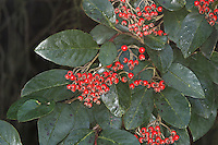 Cotoneaster turbinatus Height to 80cm. An ornamental cotoneaster and forms a low shrub. Has clusters of white flowers in early summer and bright red berries in auturmn; these persist into winter.