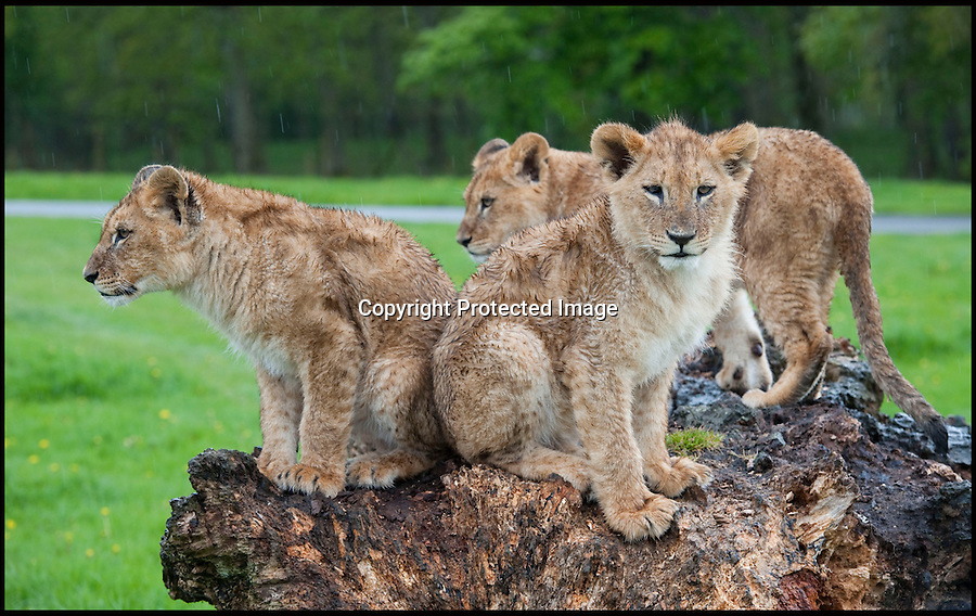 """BNPS.co.uk (01202 558833).Pic: IanTurner/BNPS..Three of the new cubs sit on a log to keep their paws dry...It's every parents' nightmare; trying to keep the youngsters entertained on a rainy day...And for the lionesses at Longleat it looks like summer still seems a long way off...The Wiltshire attraction, famed for its lions, is currently enjoying a big cat baby boom with no fewer than 11 cubs born in the past six months...All the prides lionesses help care for the news cubs, but with eleven to look after a bit of warmth and sunshine would make everyone's life a little easier...Longleat's Ian Turner said: """"It's been a long winter and I think we're all - lions and keepers alike - looking forward to the sun on our backs again soon.""""..Forecasters are however predicting a long overdue upturn for the Bank holiday weekend."""