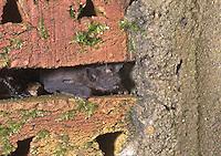 Zwergfledermaus in einem Mauerspalt, Zwerg-Fledermaus, Pipistrellus pipistrellus, Common pipistrelle, Pipistrelle commune